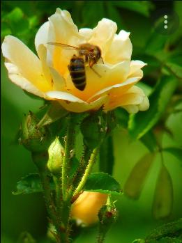 Screenshot 2021-07-03 at 14-03-01 róże a pszczoły – Szukaj w Google
